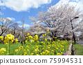 벚꽃과 유채 꽃 75994531
