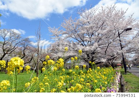 Cherry blossoms and rape blossoms 75994531