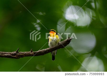 野生鳥類 野鳥 鳥兒 75999993