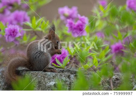squirrel, squirrels, small animal 75999997