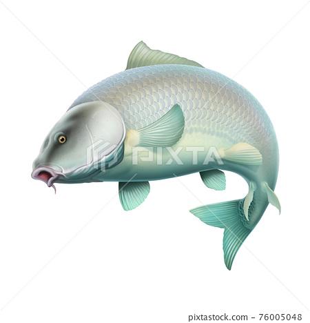 Carp white red fish (koi) realism isolate illustration. Fishing for big carp, feeder fishing, carp fishing. 76005048