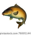 Mirror carp fish (koi) realism isolate illustration. Fishing for big carp, feeder fishing, carp fishing. 76005144