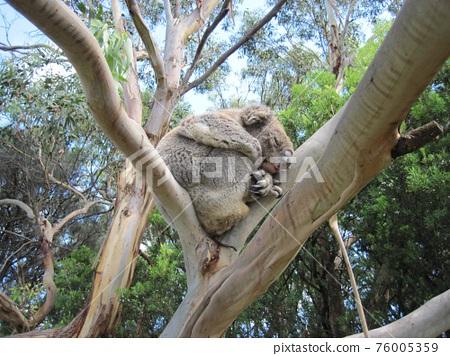Sleeping koala bear sleeping in a tree in southern Australia 76005359