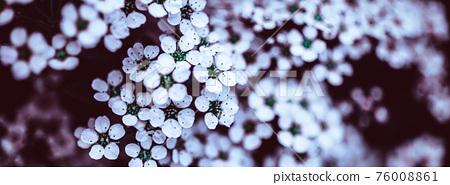 Dark Moody Floral backdrop of blooming spiraea 76008861