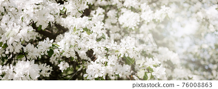 Blooming white apple tree branches in spring 76008863