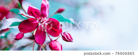 Blooming pink apple tree branches in spring 76008865