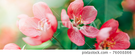 Blooming pink apple tree branches in spring 76008866
