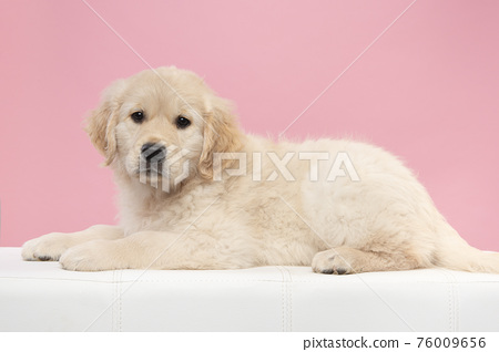Cute golden retriever puppy looking at the camera while lying down on a coach on a pink background 76009656