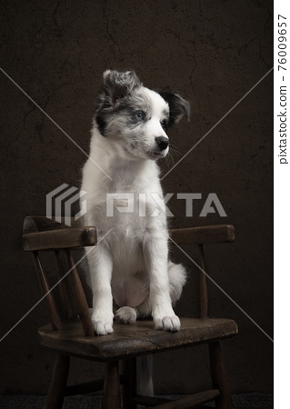 Young border collie puppy looking away sitting on a chair on a brown classic still life background 76009657