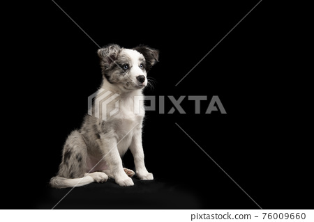 Sitting young border collie puppy looking away on a black background 76009660