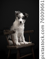 Young border collie puppy looking at the camera sitting on a wooden chair on a black background 76009661