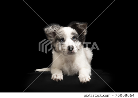 Young border collie puppy looking up lying down on a black background seen from the front 76009664