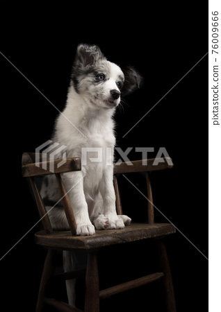 Young border collie puppy looking away sitting on a brown wooden chair on a black background 76009666