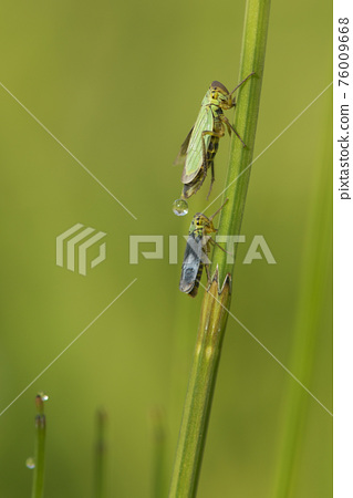 Couple of green leafhoppers on a green natural background 76009668