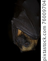 Hanging flying fox bat on a black background 76009704