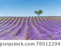 Lavender field at sunset, lonely tree in background. Valensole Plateau 76012204