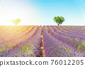 Lavender field at sunset, lonely trees in background 76012205
