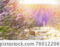 Lavender field summer sunset landscape 76012206