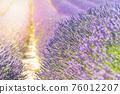 Lavender field summer sunset landscape near Valensole 76012207