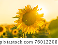 Field of blooming sunflowers on a background sunset in Valensole 76012208