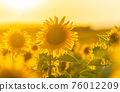 Field of blooming sunflowers 76012209