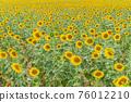 Field of beautiful blooming sunflowers 76012210
