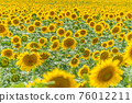 Field of blooming sunflowers 76012211