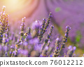 Closeup bushes of purple lavender flowers in summer near Valensole, Provence, France 76012212