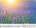 Closeup bushes of purple lavender flowers in summer in Valensole - Provence 76012215