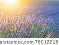 Closeup bushes of purple lavender flowers in summer in Valensole, France 76012216