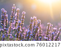 Closeup bushes of purple lavender flowers in summer in Valensole 76012217