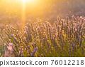 Closeup lavender field summer sunset landscape near Valensole 76012218