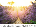 Closeup lavender field at sunset with lonely tree in background and sunrise 76012219