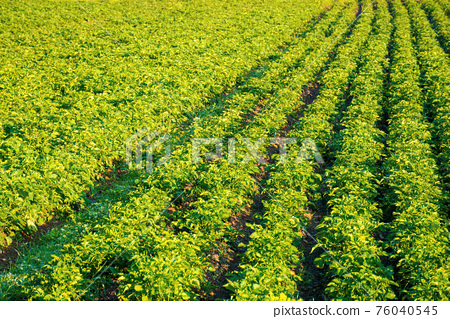 rural landscape with potato field grow in a row. lush green scenery in morning light. organic crop vegetation. rustic agricultural background in summer 76040545