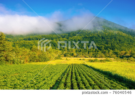 rural landscape with potato field grow in a row. lush green scenery in morning light. organic crop vegetation. rustic agricultural background in summer 76040546