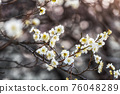 Prunus mume flower 76048289