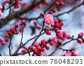 Prunus mume flower pink 76048293