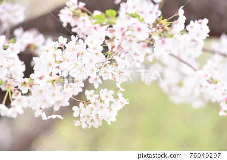 櫻桃樹 76049297