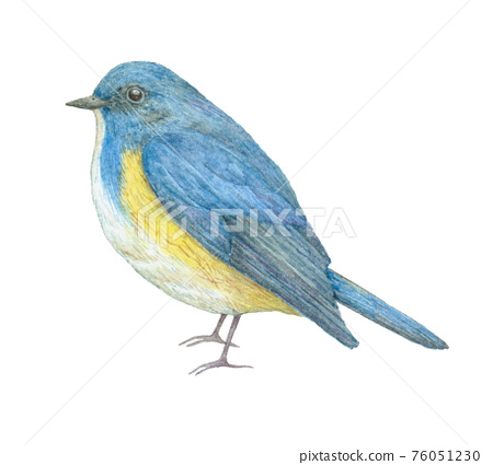 紅脅藍尾鴝 76051230