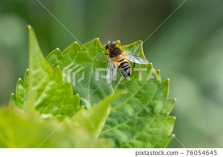 食蚜蠅 昆蟲 蟲子 76054645