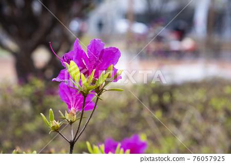 길쭉한 수술을 가진 분홍색 산철쭉 꽃 76057925
