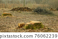 Cutting deforestation, logging cut industry pile timber of felled wood branches, stump newly new planted planting growing trees seedling making their way wood larva larvae, clear cut calamity wood 76062239