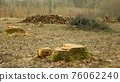 Logging cut industry pile timber of felled wood branches cutting deforestation, stump newly new planted planting growing trees seedling making their way wood larva larvae, clear cut calamity wood 76062240