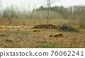 Logging cut industry pile timber of felled wood branches cutting deforestation, stump newly new planted planting growing trees seedling making their way wood larva larvae, clear cut calamity wood 76062241