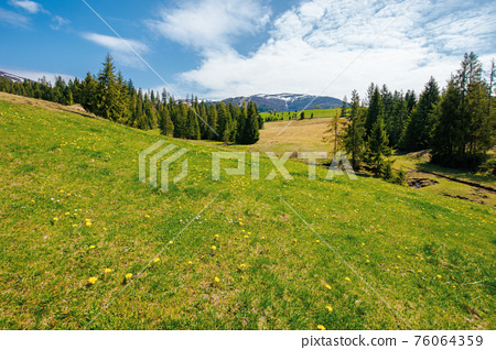 spruce trees on the grassy pasture. snow capped ridge in the distance. beautiful countryside rural landscape on a sunny day 76064359