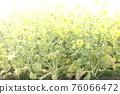 油菜花 油菜 渚公園 76066472