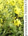 油菜花 油菜 花朵 76066473