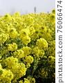 油菜花 油菜 花朵 76066474