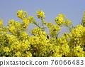 油菜花 油菜 花朵 76066483