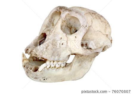 Skull of monkey isolated on white background 76070807